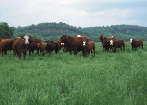 beef cattle NCRS image