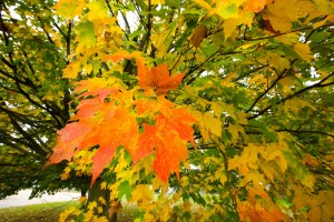 fall leaves maple NCRS image