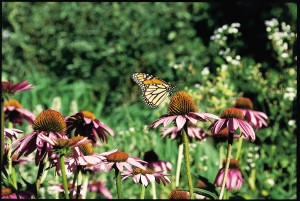 purple cone flower with butterfly NCRS image