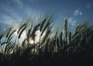 wheat NCRS image